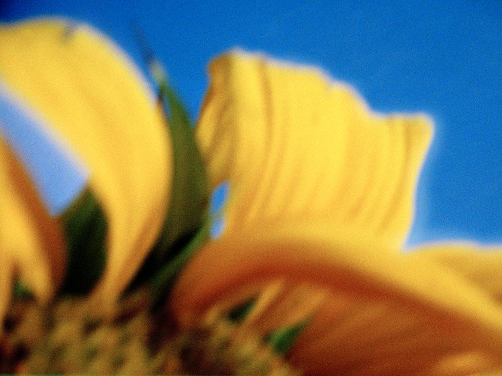 Sonnenblume 2, 2013, Chromogener Farbabzug