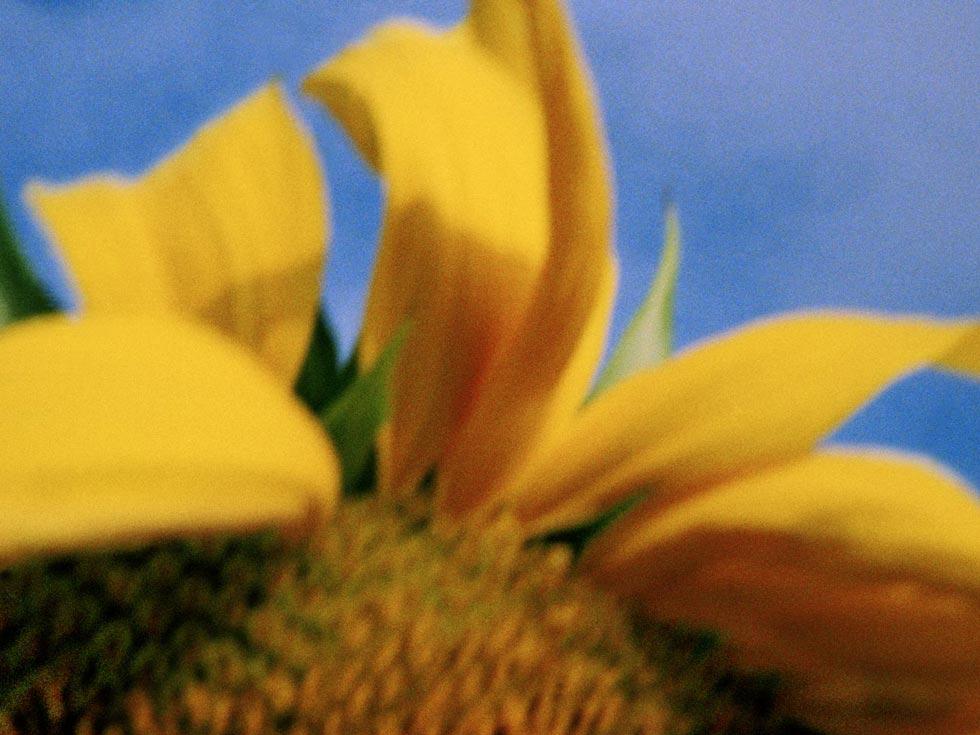 Sonnenblume 3, 2013, Chromogener Farbabzug