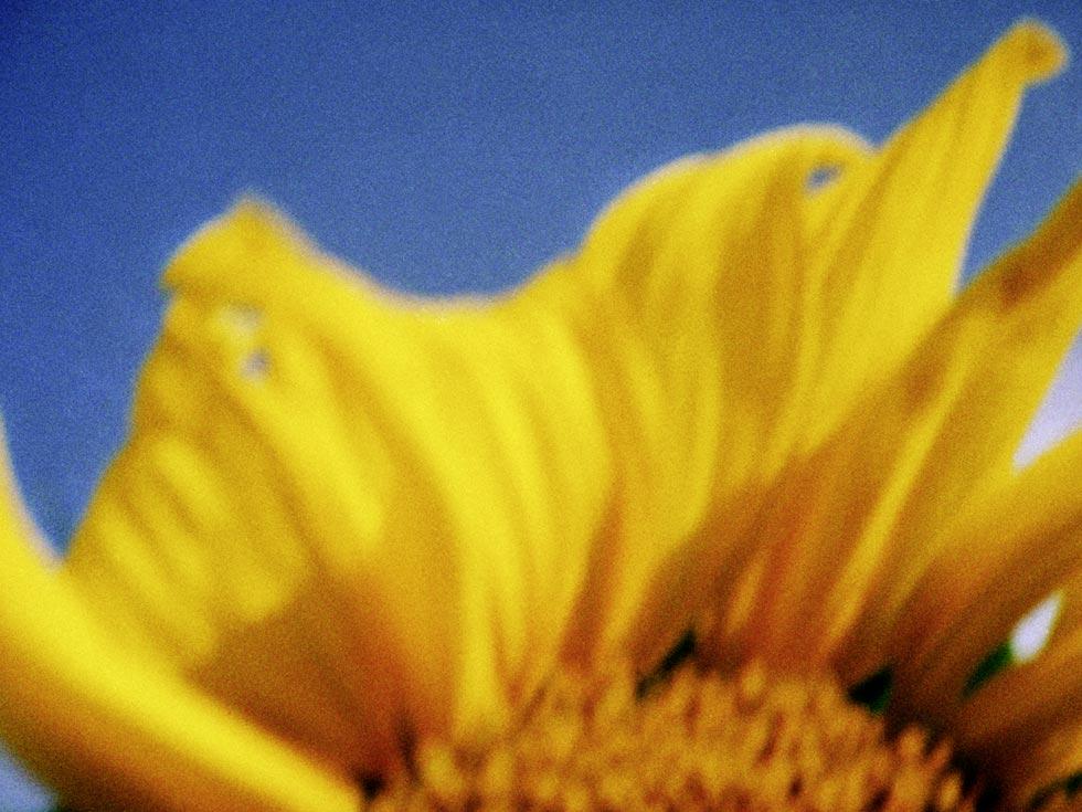 Sonnenblume 1, 2013, Chromogener Farbabzug